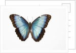 Blue Morpho against white background by Corbis