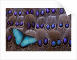 Blue Morpho resting on tail feather design of the Grey's Peacock Pheasant by Corbis