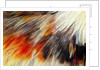 Colorful feathers of Collared Aracari by Corbis