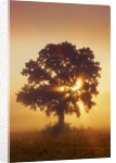 Silhouette of Oak tree (quercus) in mist at sunrise by Corbis