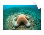 Granular Starfish (Choriaster granulatus) by Corbis
