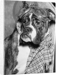 Cute wrinkled boxer dog dressed-up in checked scarf and goggles by Corbis