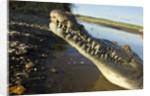 American Crocodile, Costa Rica by Corbis