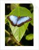 Blue Morpho Butterfly, Costa Rica by Corbis