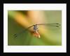 Dragonfly, Osa Peninsula, Costa Rica by Corbis