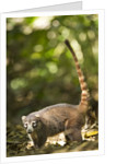 Coati, Costa Rica by Corbis