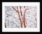 winter snow on tree. Willamette Valley, Oregon by Corbis