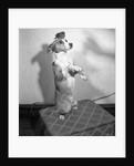 Dog posing with bird on head by Corbis