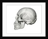 Lateral View of Human Skull. by Corbis