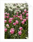 Tulips bed bloom by Corbis
