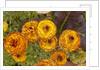 Ranunculus asiaticus (Persian Buttercup) by Corbis