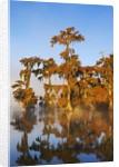 Bald cypress swamp (taxodium distichum) in fog by Corbis