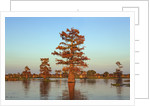 Cypress trees at sunset, Bayou, New Orleans, Louisiana, USA by Corbis