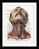 Frontal View of the Muscles and Glands of the Human Neck by Corbis