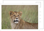 Young male Lion by Corbis