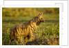 Aardwolf, Ngorongoro Conservation Area, Tanzania by Corbis