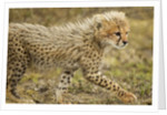 Cheetah Cub, Ngorongoro Conservation Area, Tanzania by Corbis