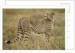 Cheetah, Ngorongoro Conservation Area, Tanzania by Corbis