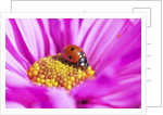 Close-up of a lady bug on flower by Corbis
