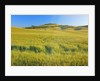 Corn field in Tuscany by Corbis