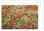 Corn poppy (papaver rhoeas) and cow parsley in resting field by Corbis