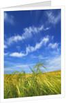 Barley (hordeum vulgare) and cirrus clouds by Corbis