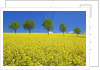 Line of trees amidst canola fields by Corbis
