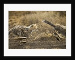 Cheetah cubs playing at Ngorongoro Conservation Area, Tanzania by Corbis