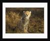 Cheetah Cub at Ngorongoro Conservation Area, Tanzania by Corbis