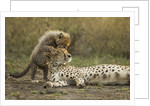 Cheetah cub and mother by Corbis