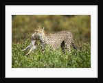 Cheetah and Hare by Corbis