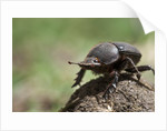 Dung Beetle by Corbis