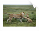 Lions playing by Corbis