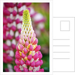 Schreiner Iris Gardens in Salem, Oregon by Corbis