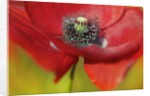 Close-up view of corn poppy by Corbis