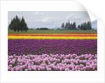 North America, United States, Washington, Mount Vernon, tulips in bloom at annual Skagit Valley Tuli by Corbis