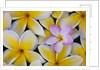Plumeria flowers in bloom by Corbis