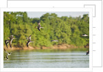 Birds flying over Rio Cuyaba, Mato Grosso, Brazil by Corbis