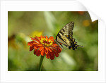 Swallowtail Butterfly by Corbis