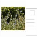 Flowering Sage Bush by Corbis