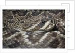 Eastern diamondback rattlesnake (Crotalus adamanteus) by Corbis