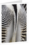 Tail & hindquarters of of Grevy's zebra (Equus grevyi) by Corbis
