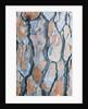 Pine tree bark by Corbis