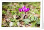Wild botanical Cyclamen flowers by Corbis