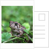Fowler's toad by Corbis