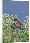 Monarch Butterfly resting on flower buds by Corbis
