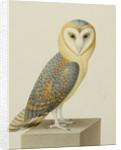A Barn Owl (Tyto Alba) by Nicolas Robert