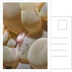 Bubble Coral Shrimp by Corbis