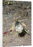 Keel Tail Mantis Shrimp by Corbis