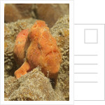Freckled Frogfish by Corbis
